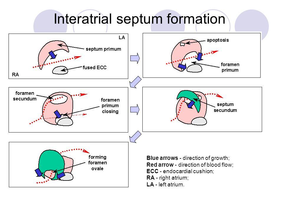 Interatrial septum formation