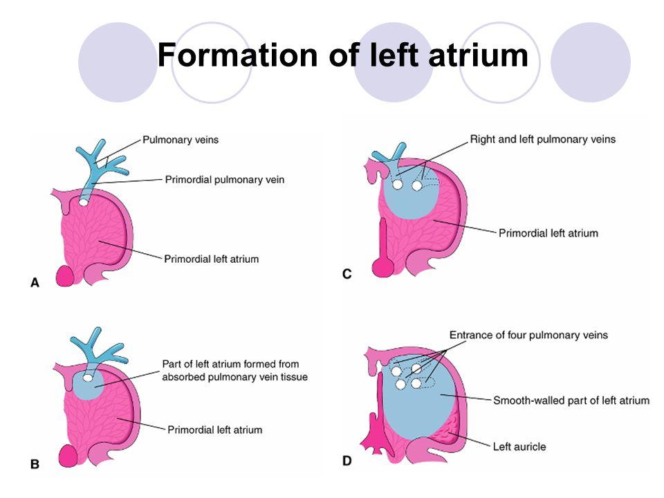 Formation of left atrium