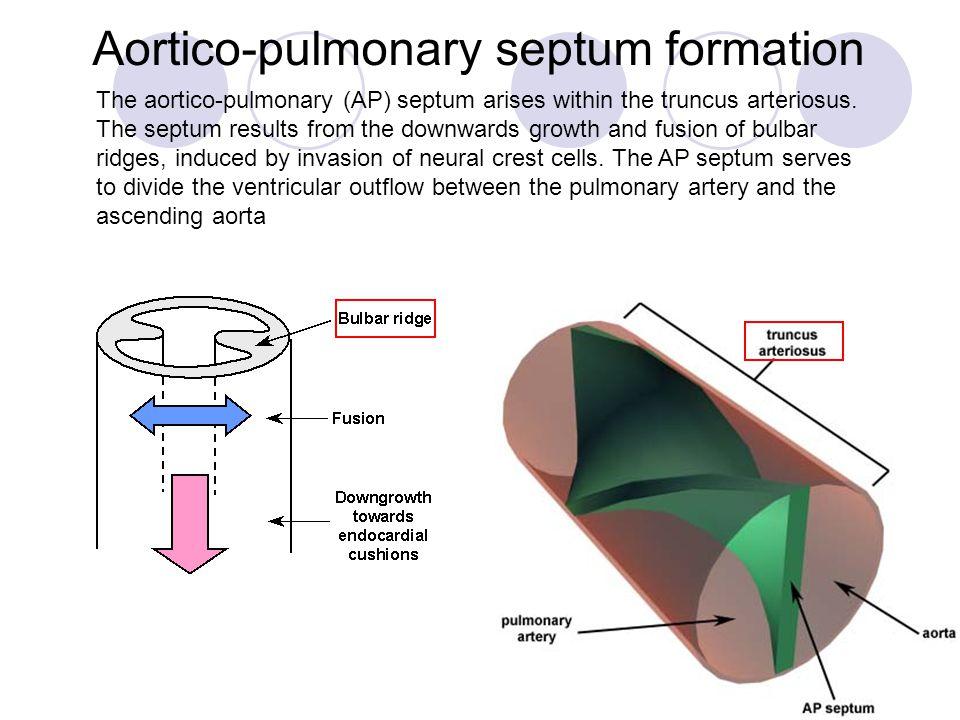 Aortico-pulmonary septum formation
