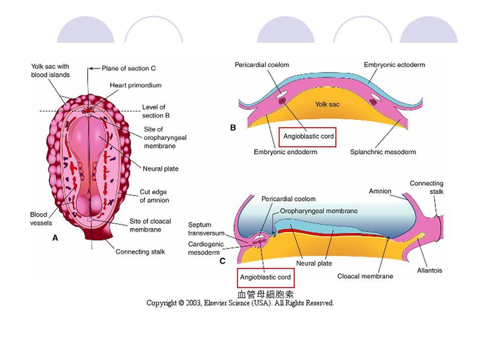 血管母細胞索