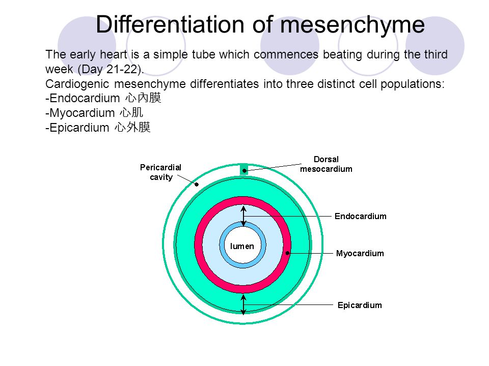 Differentiation of mesenchyme