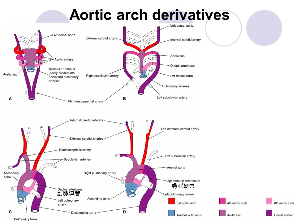 Aortic arch derivatives