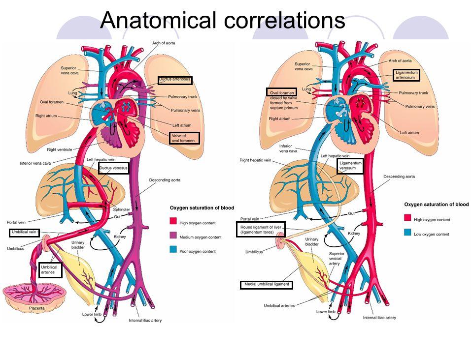 Anatomical correlations