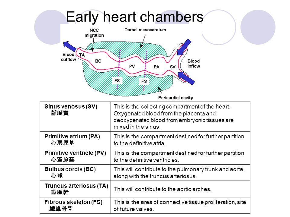 Early heart chambers Sinus venosus (SV) 靜脈竇.