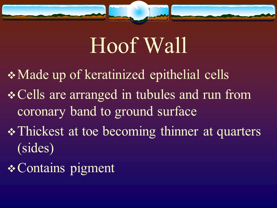 Hoof Wall Made up of keratinized epithelial cells