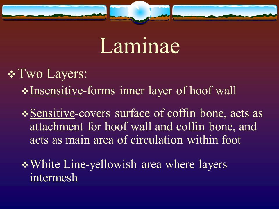Laminae Two Layers: Insensitive-forms inner layer of hoof wall