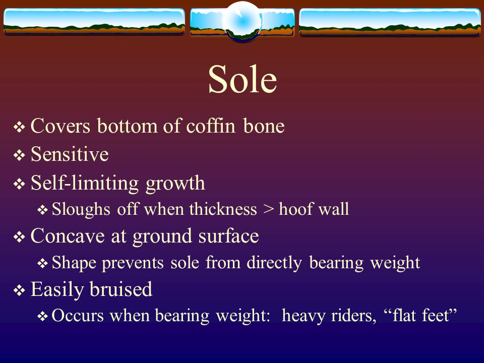 Sole Covers bottom of coffin bone Sensitive Self-limiting growth