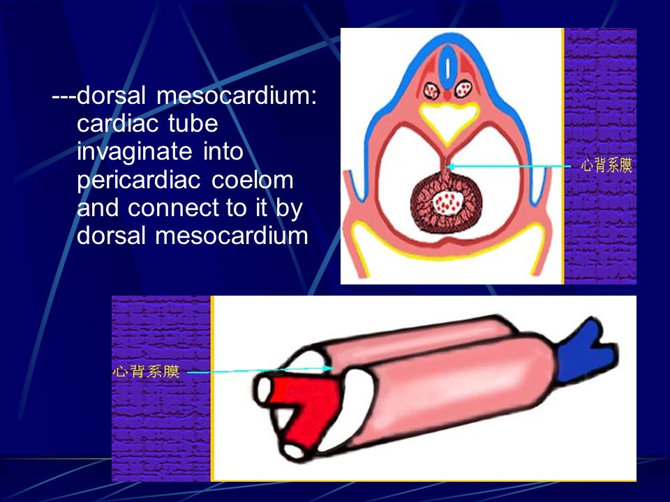 ---dorsal mesocardium: cardiac tube invaginate into pericardiac coelom and connect to it by dorsal mesocardium