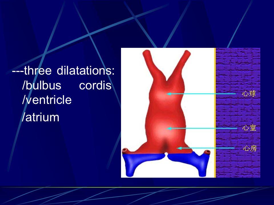 ---three dilatations: /bulbus cordis /ventricle