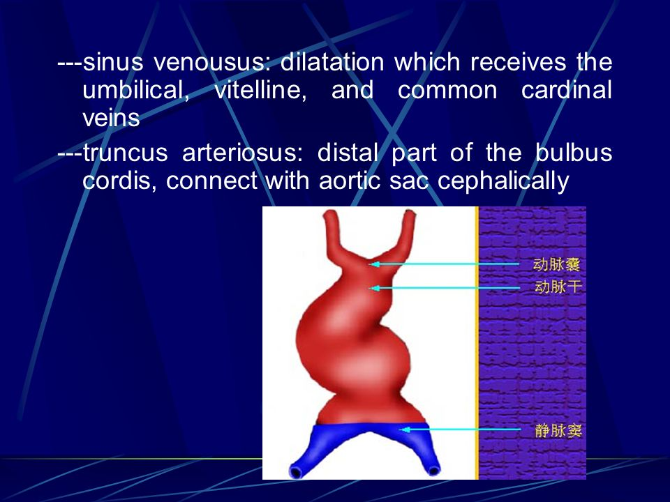 ---sinus venousus: dilatation which receives the umbilical, vitelline, and common cardinal veins