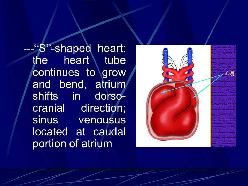 --- S -shaped heart: the heart tube continues to grow and bend, atrium shifts in dorso-cranial direction; sinus venousus located at caudal portion of atrium