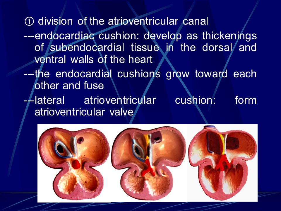 ① division of the atrioventricular canal