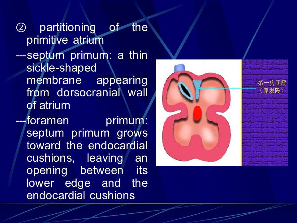 ② partitioning of the primitive atrium