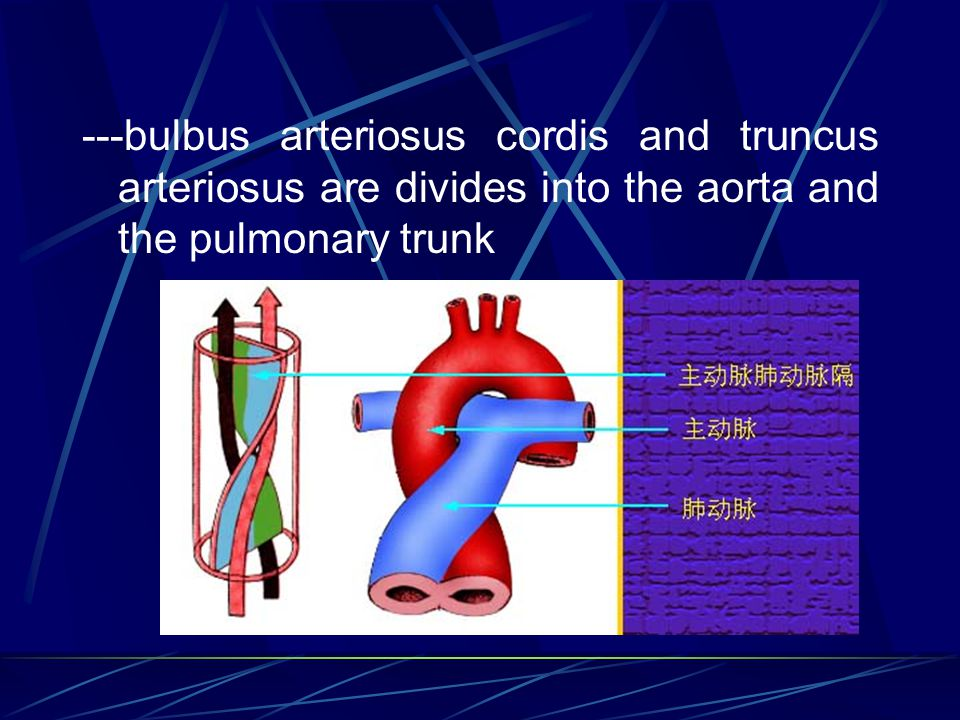 ---bulbus arteriosus cordis and truncus arteriosus are divides into the aorta and the pulmonary trunk