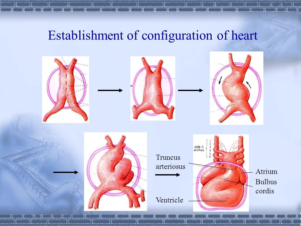 Establishment of configuration of heart