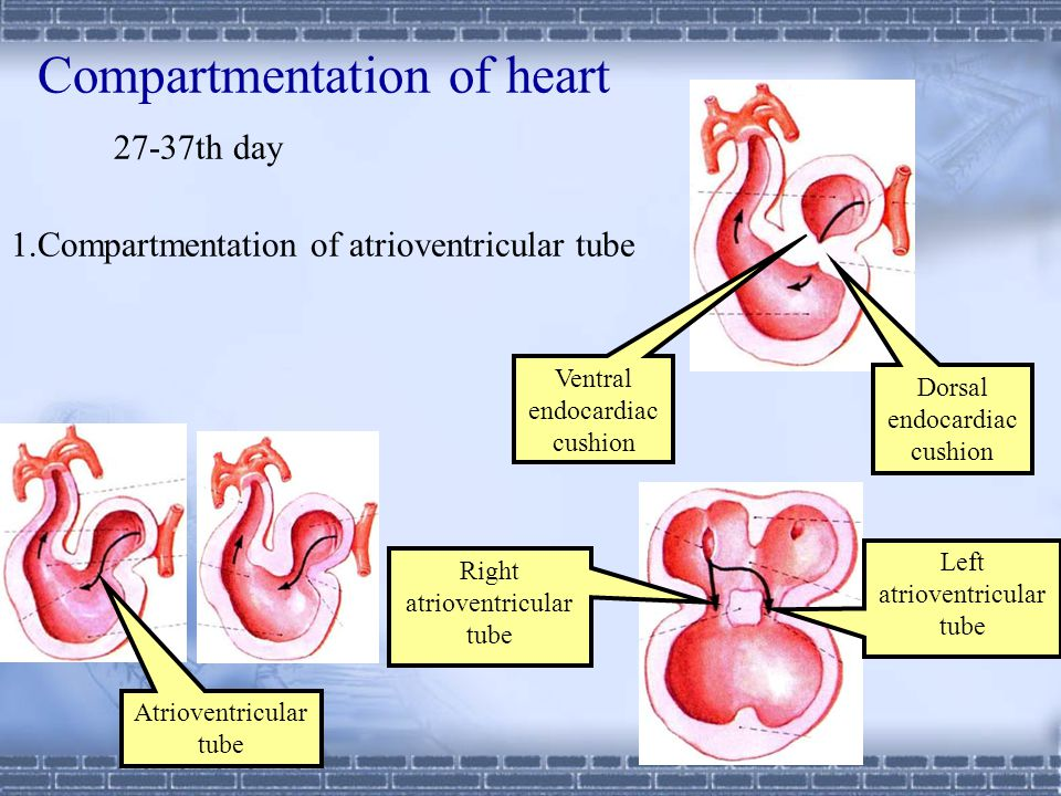 Compartmentation of heart 27-37th day 1
