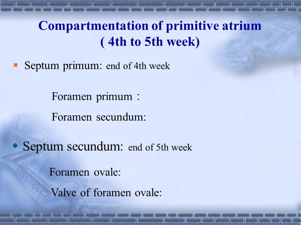 Compartmentation of primitive atrium ( 4th to 5th week)