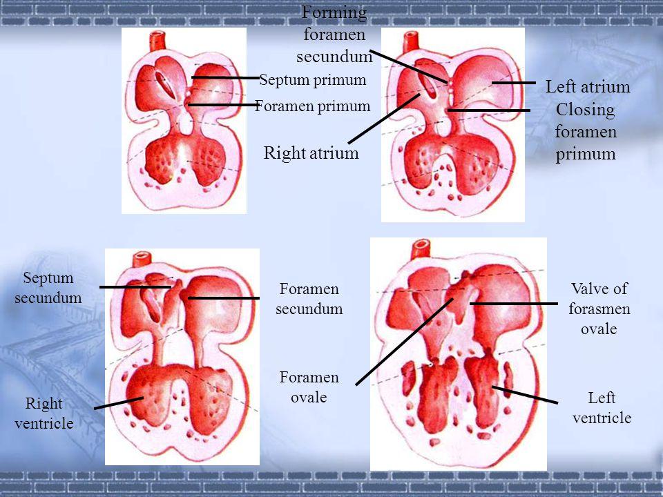 Forming foramen secundum