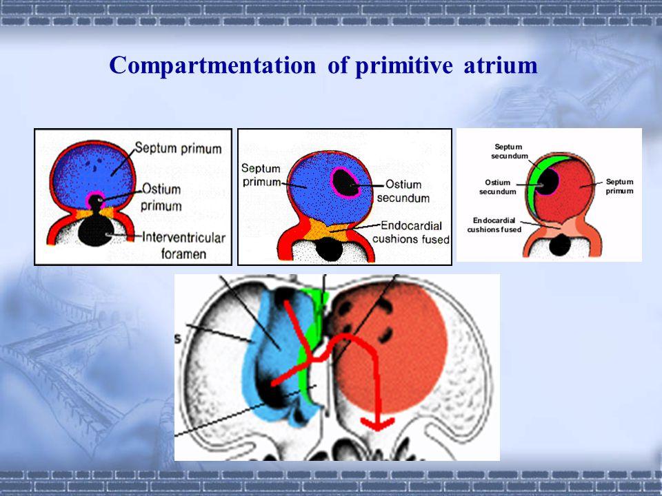 Compartmentation of primitive atrium