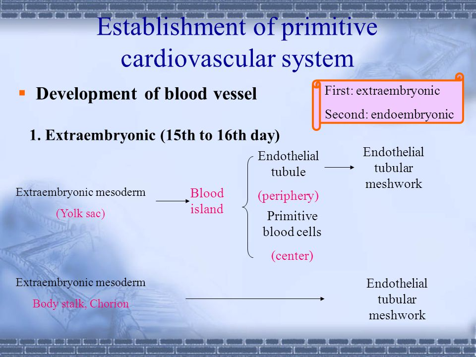 Establishment of primitive cardiovascular system