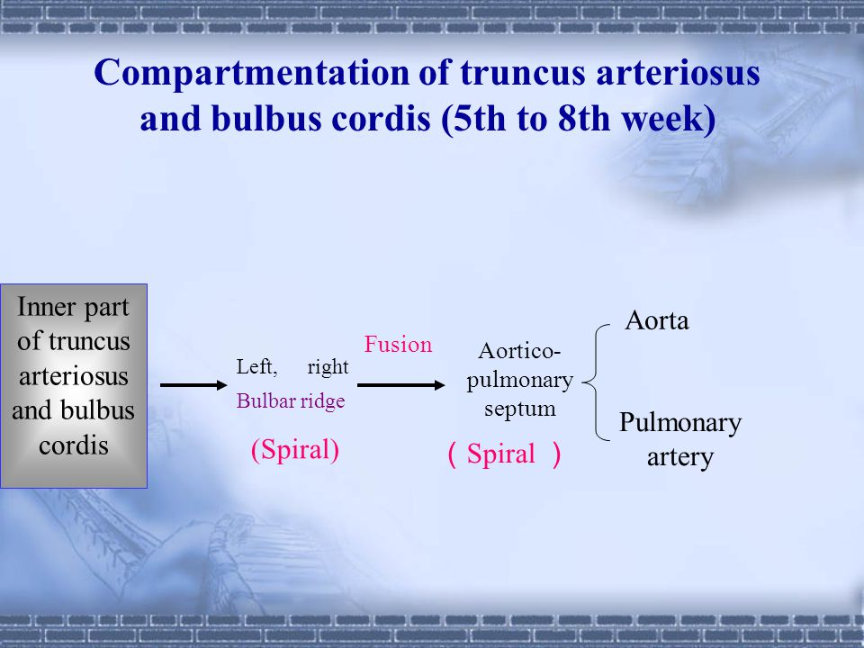 Compartmentation of truncus arteriosus and bulbus cordis (5th to 8th week)