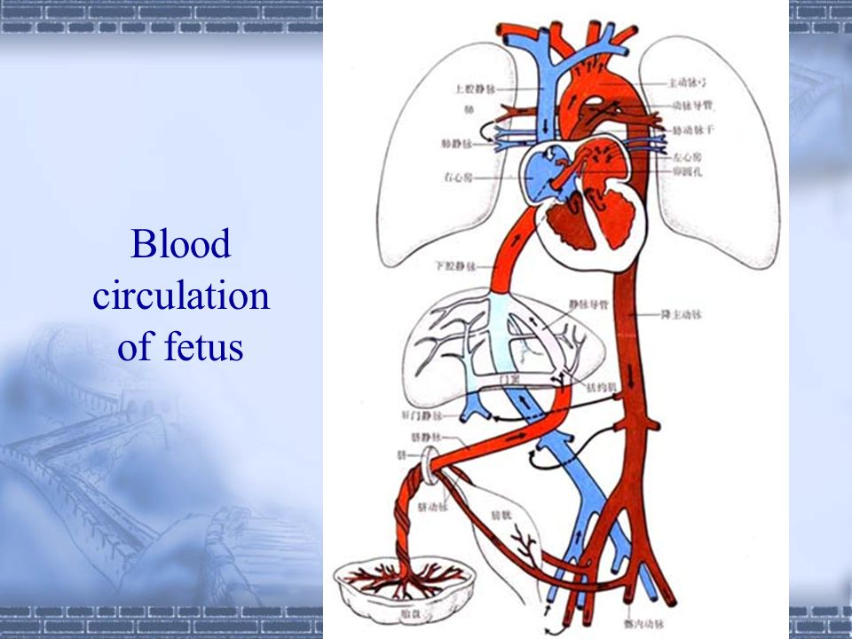 Blood circulation of fetus