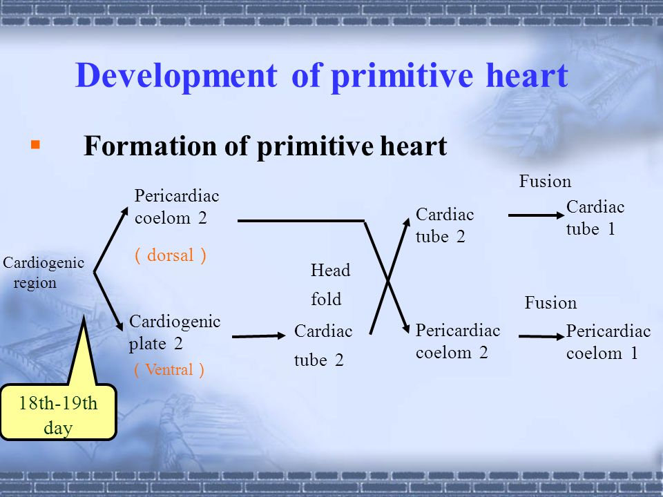 Development of primitive heart