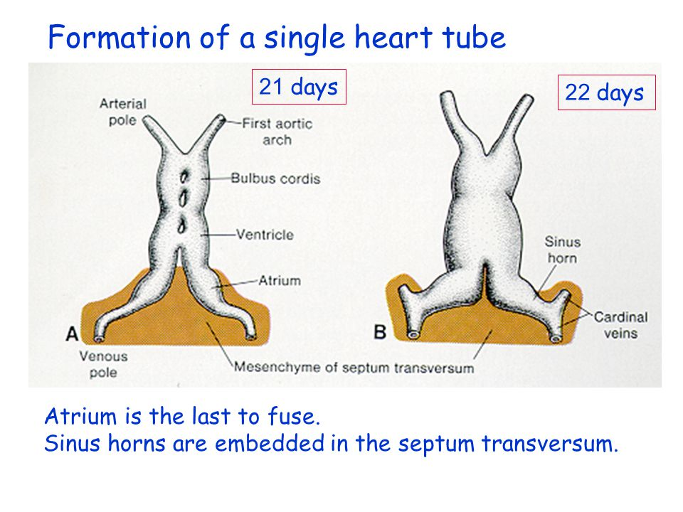 Formation of a single heart tube