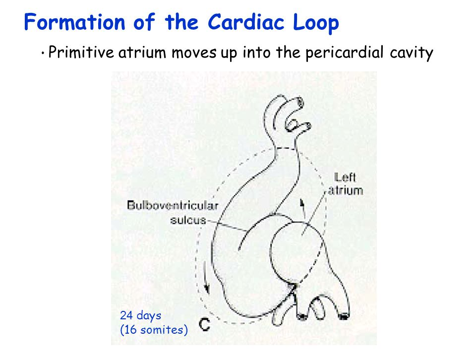 Formation of the Cardiac Loop