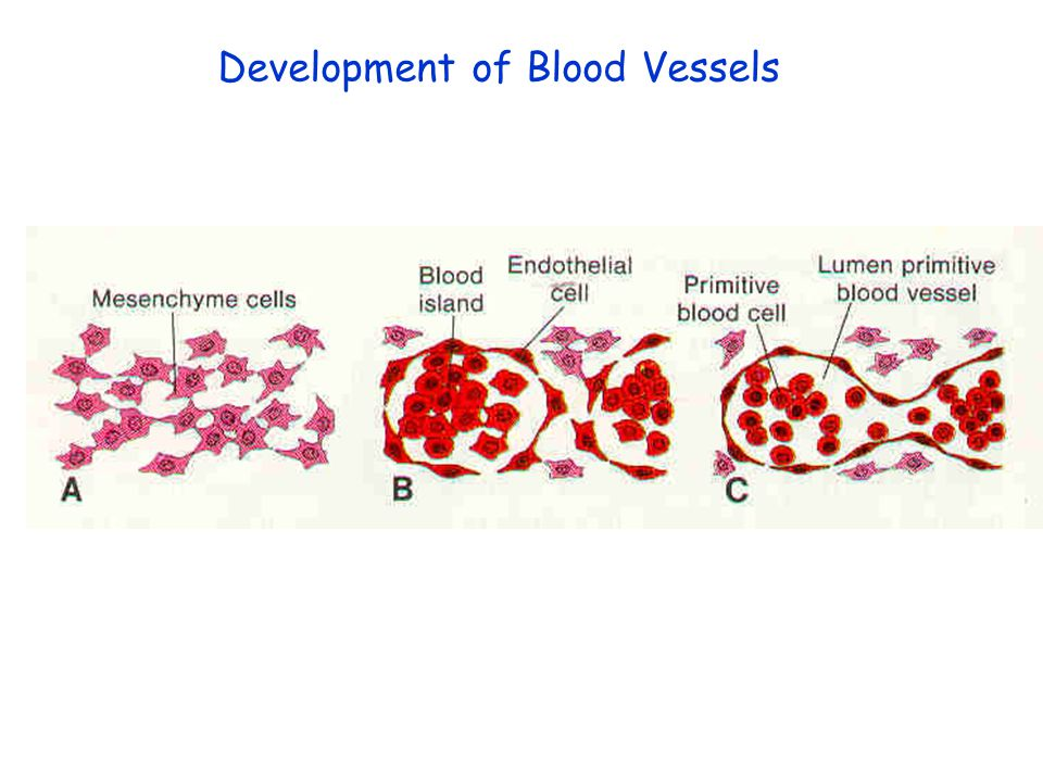 Development of Blood Vessels
