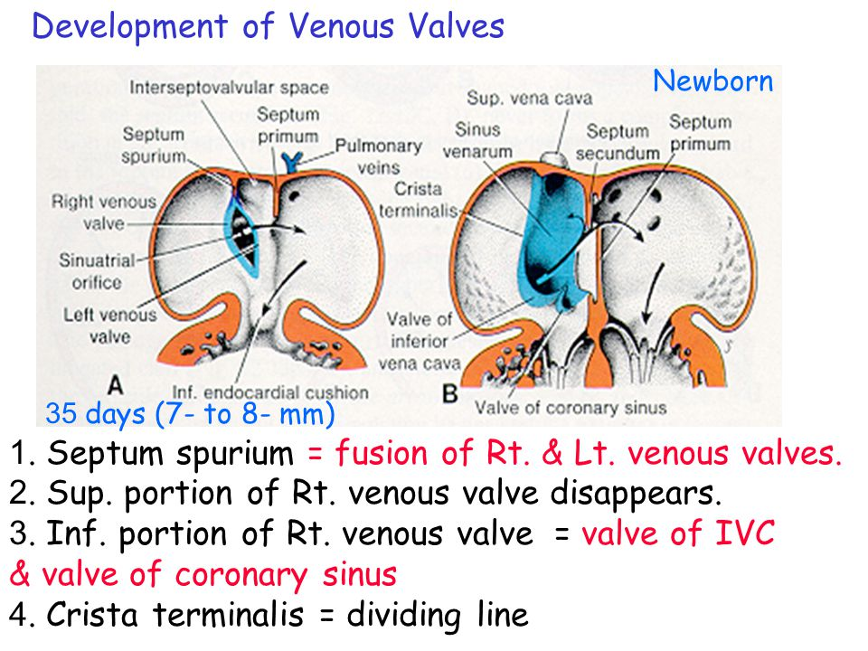 Development of Venous Valves