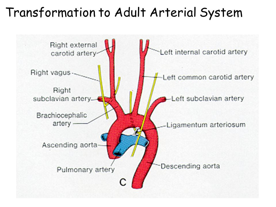 Transformation to Adult Arterial System