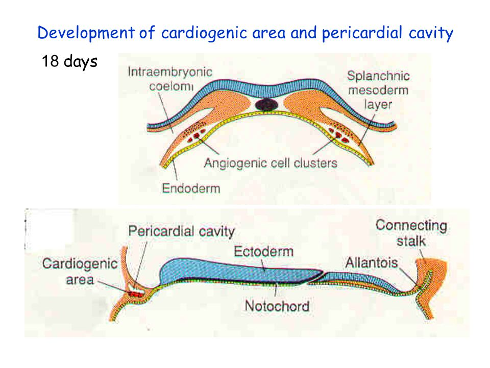 Development of cardiogenic area and pericardial cavity
