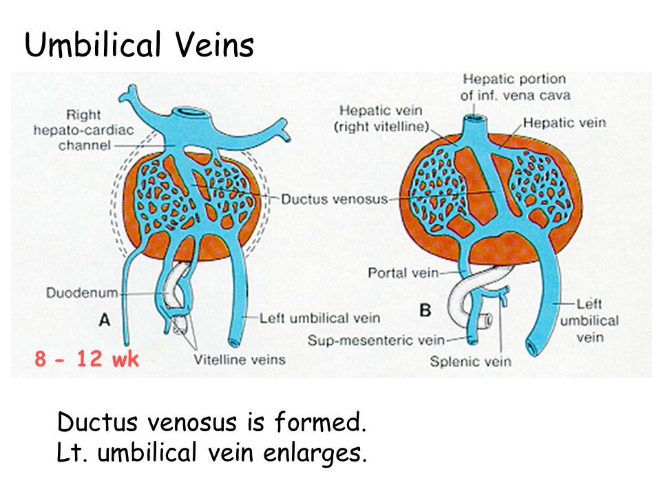 Umbilical Veins Ductus venosus is formed. Lt. umbilical vein enlarges.