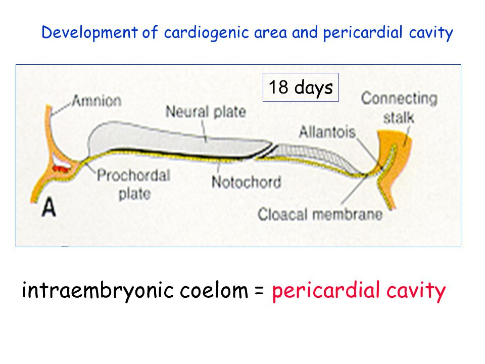intraembryonic coelom = pericardial cavity