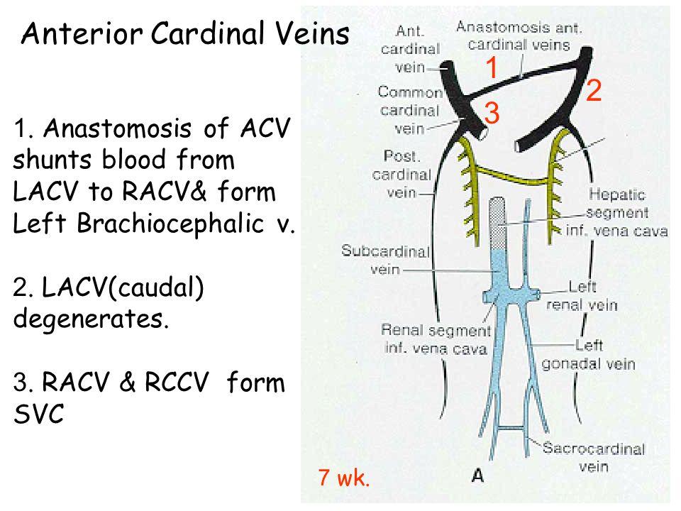Anterior Cardinal Veins