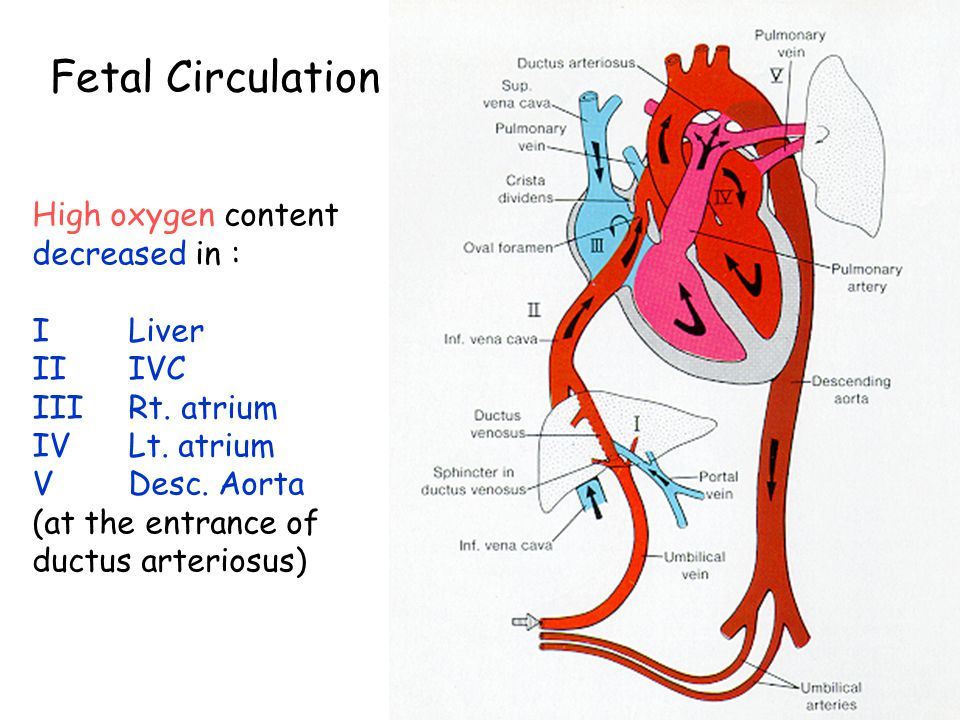 Fetal Circulation High oxygen content decreased in : I Liver II IVC