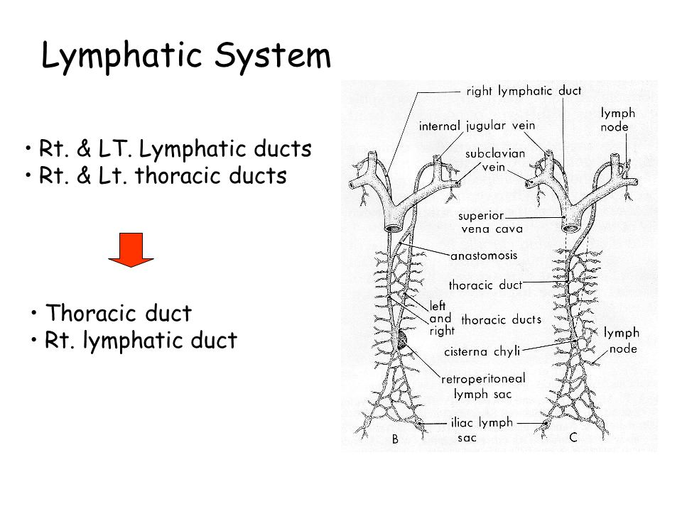 Lymphatic System Rt. & LT. Lymphatic ducts Rt. & Lt. thoracic ducts
