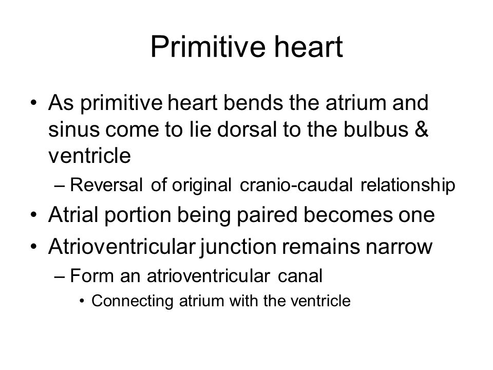 Primitive heart As primitive heart bends the atrium and sinus come to lie dorsal to the bulbus & ventricle.