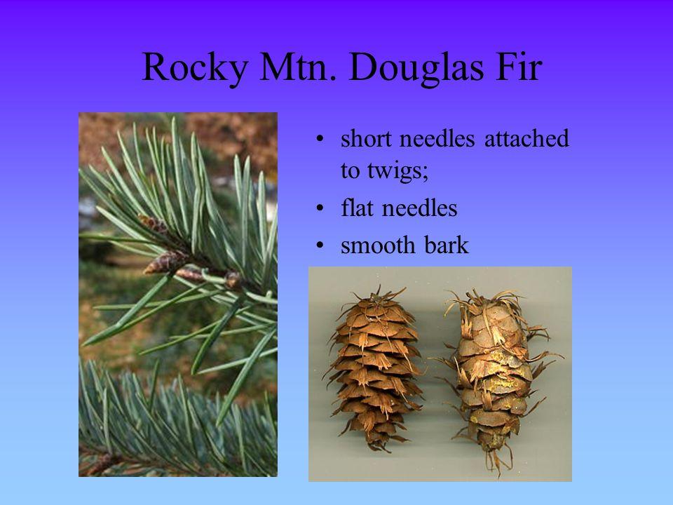 Rocky Mtn. Douglas Fir short needles attached to twigs; flat needles