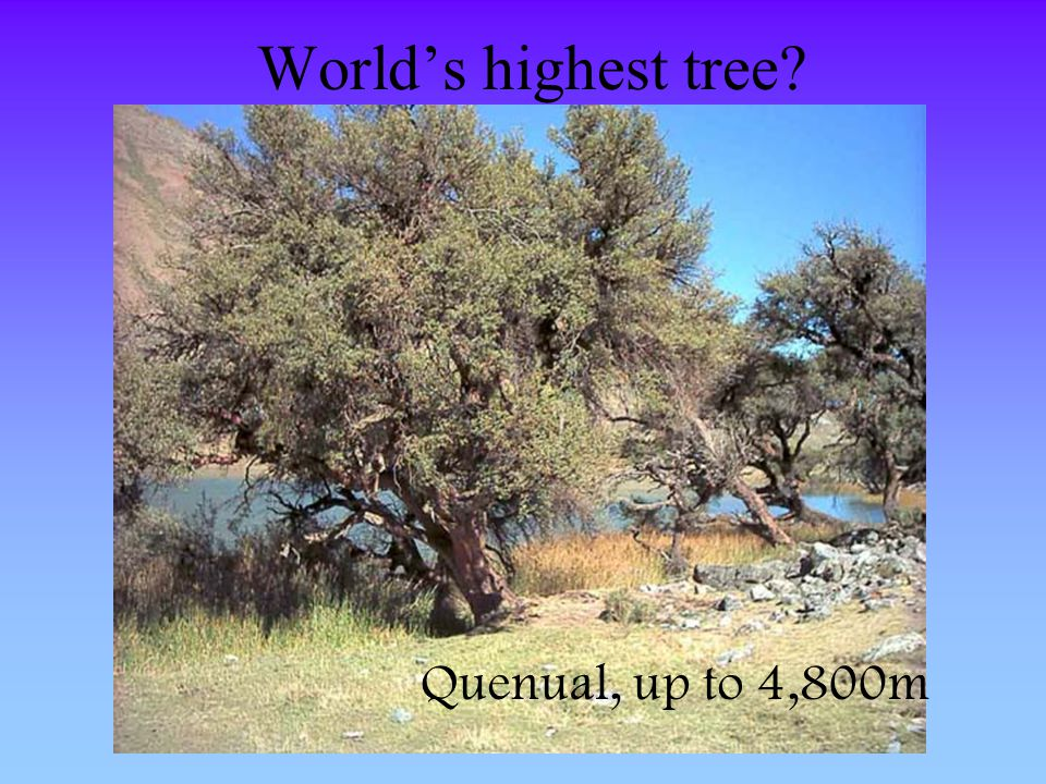 World's highest tree Quenual, up to 4,800m