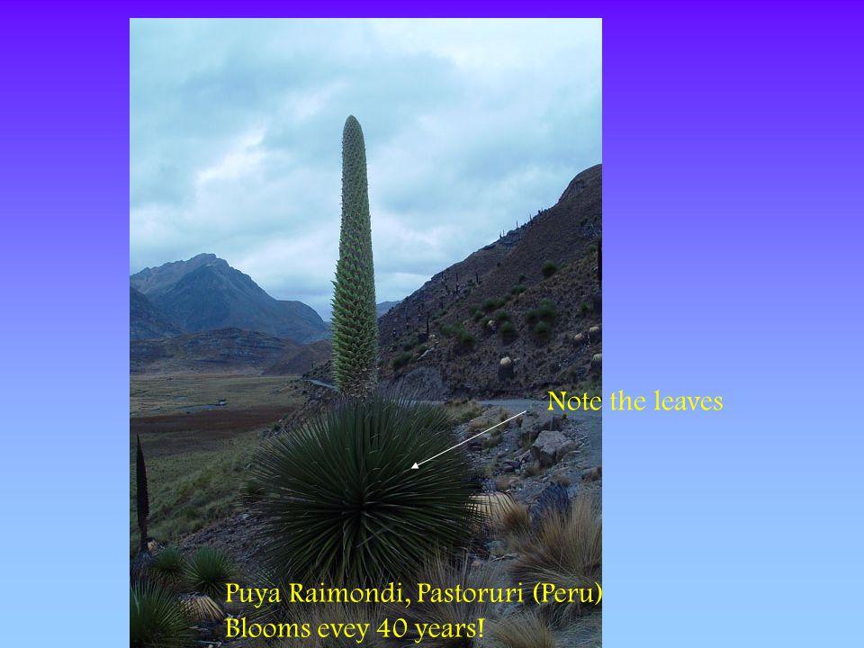Note the leaves Puya Raimondi, Pastoruri (Peru) Blooms evey 40 years!