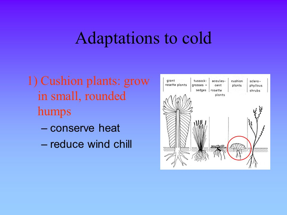 Adaptations to cold 1) Cushion plants: grow in small, rounded humps