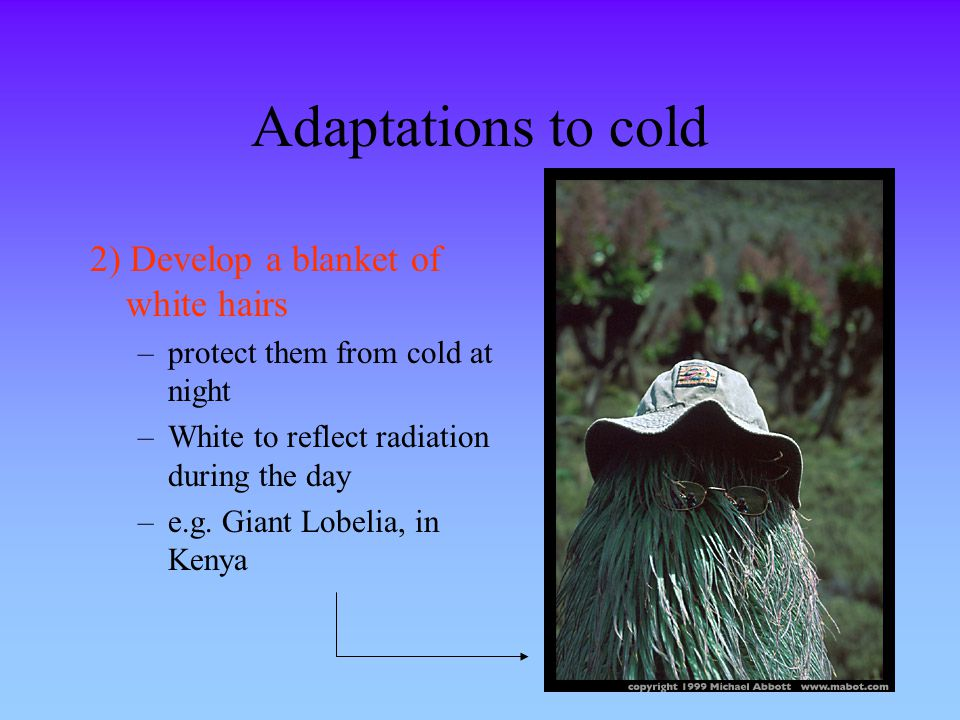Adaptations to cold 2) Develop a blanket of white hairs