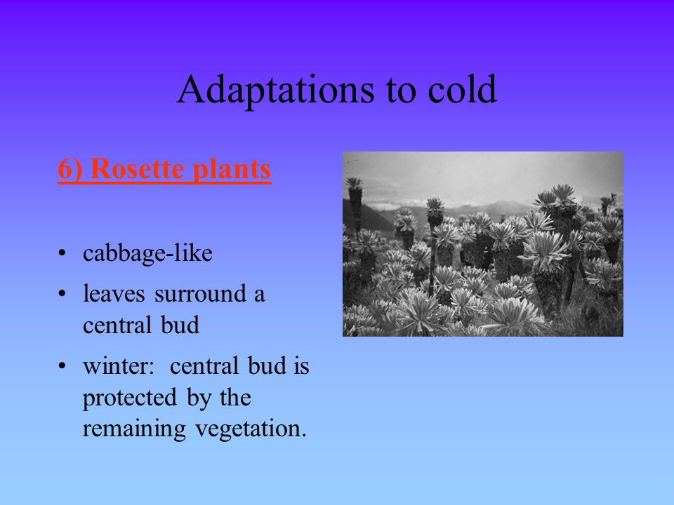 Adaptations to cold 6) Rosette plants cabbage-like
