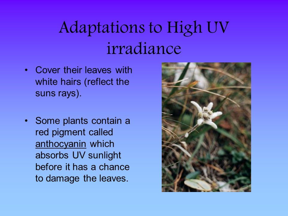 Adaptations to High UV irradiance