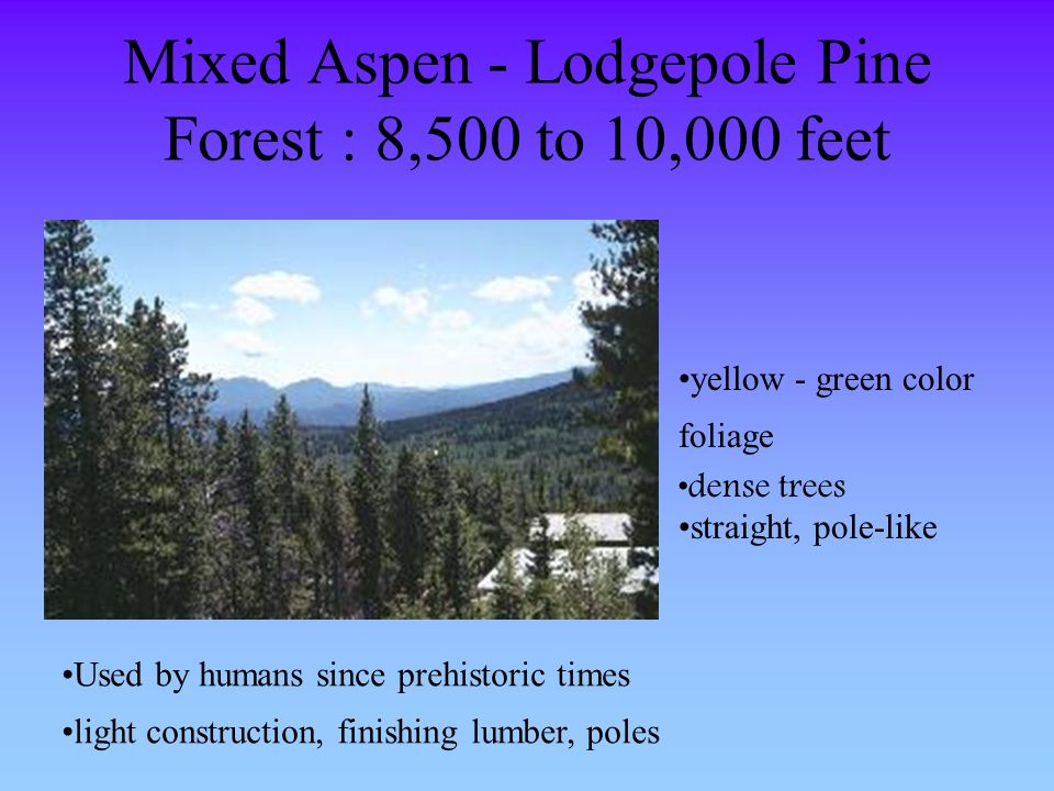 Mixed Aspen - Lodgepole Pine Forest : 8,500 to 10,000 feet