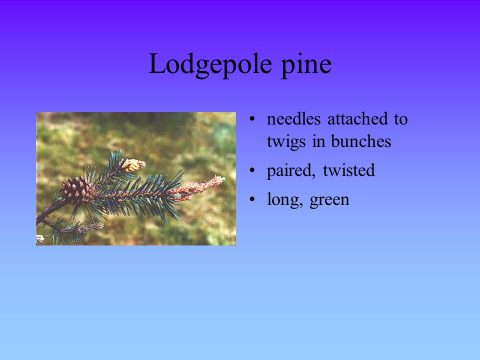 Lodgepole pine needles attached to twigs in bunches paired, twisted