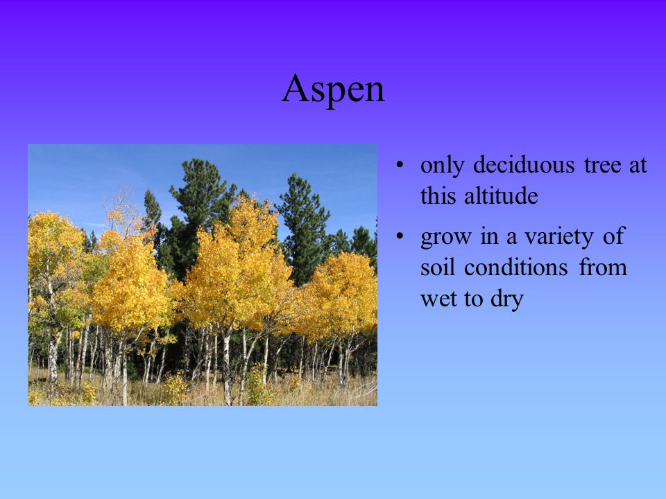 Aspen only deciduous tree at this altitude