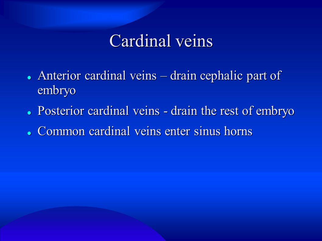 Cardinal veins Anterior cardinal veins – drain cephalic part of embryo